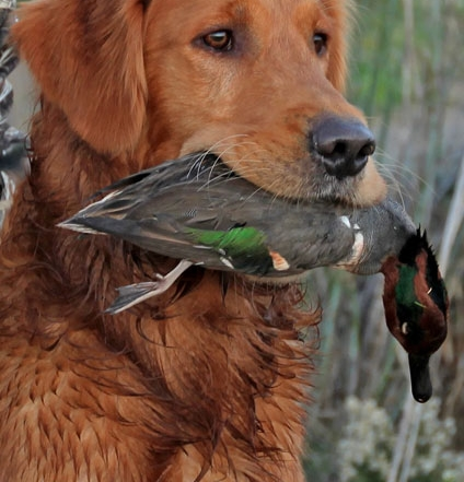 Arson retrieves a Green Wing Teal Duck