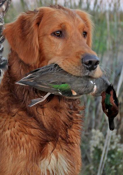 Arson retrieves a Green Wing Teal Duck