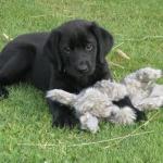 Labrador Puppy, Mighty at 8 weeks