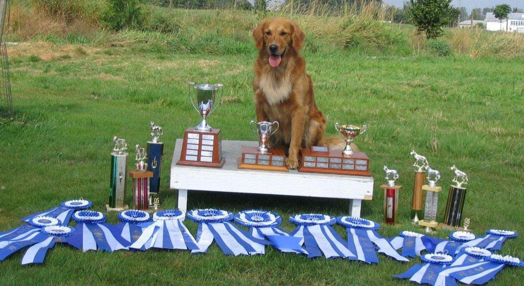 Golden Retriever Billie earns her 6th Perfect Score in the Obedience Ring