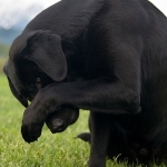 Labrador, Might shows his bashful side