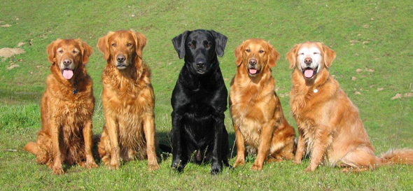 Some of TNT's Retrievers