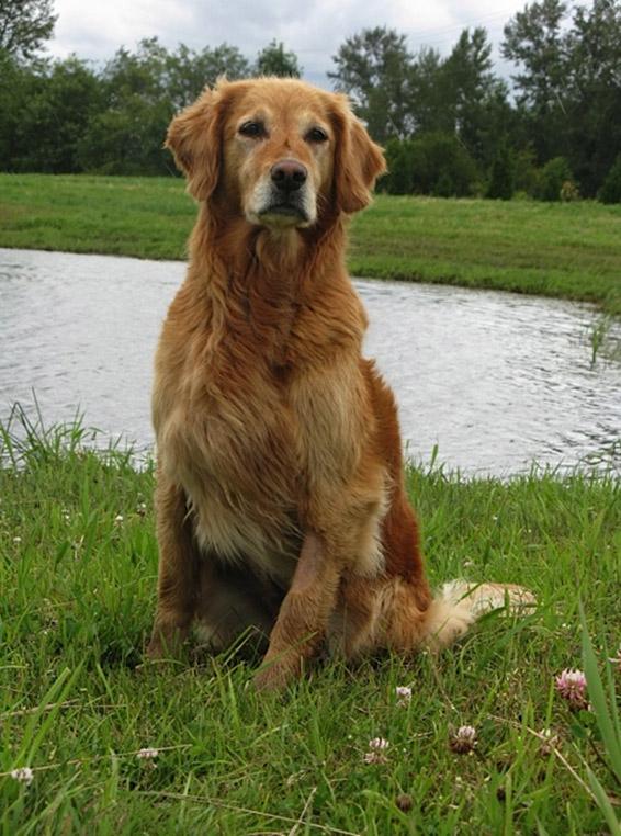 Golden Retriever Billie after her cancer diagnosis