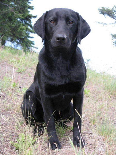 Labrador Retriever, Mighty at 1 year old