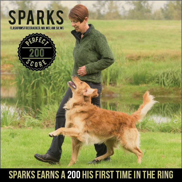 Golden Retriever Sparks earns a 200 score from Novice B class his first time in the ring.