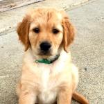 Golden Retriever Puppy - Sparks