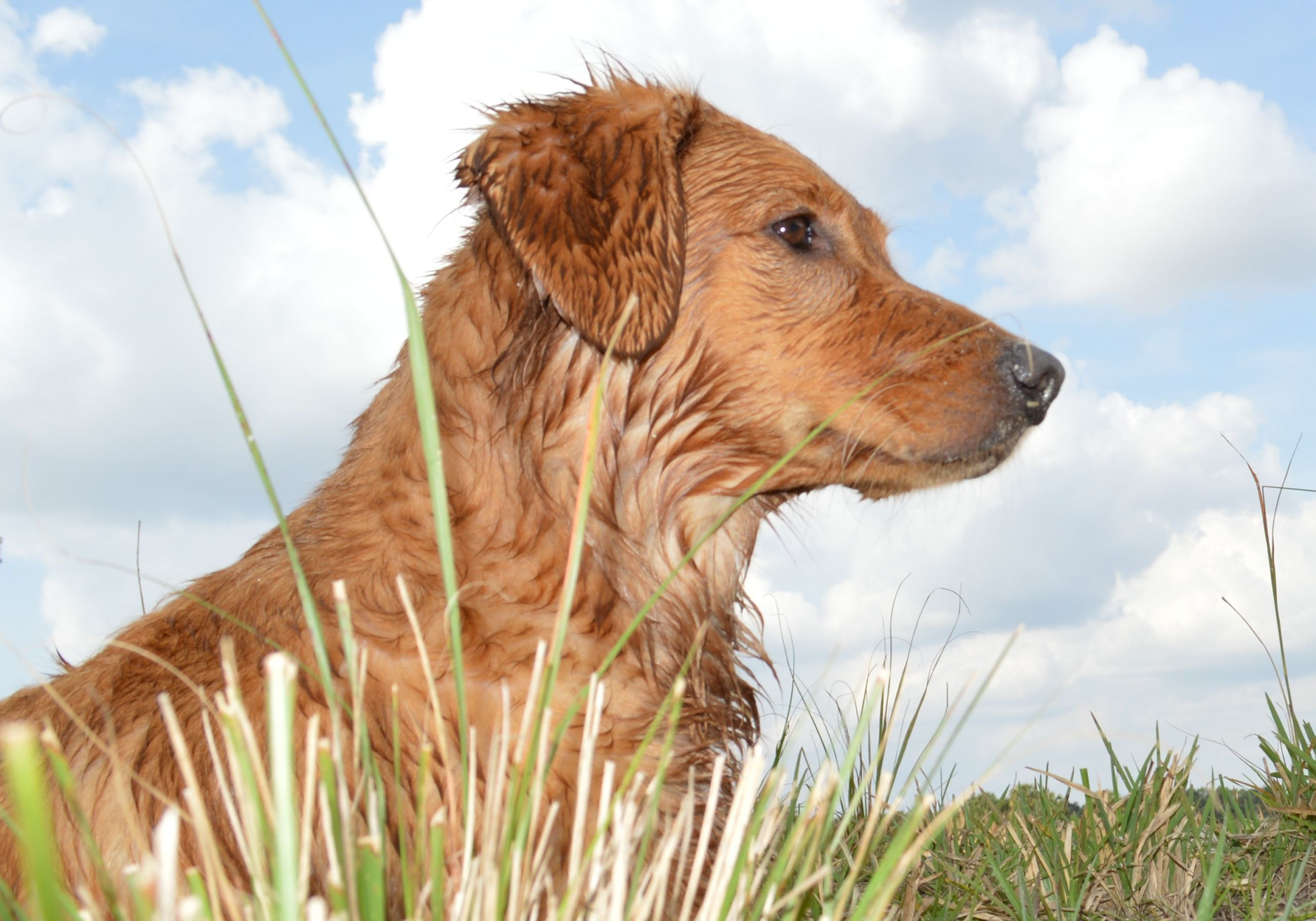 Stanley Daughter inducted into the Golden Retriever Hall of Fame