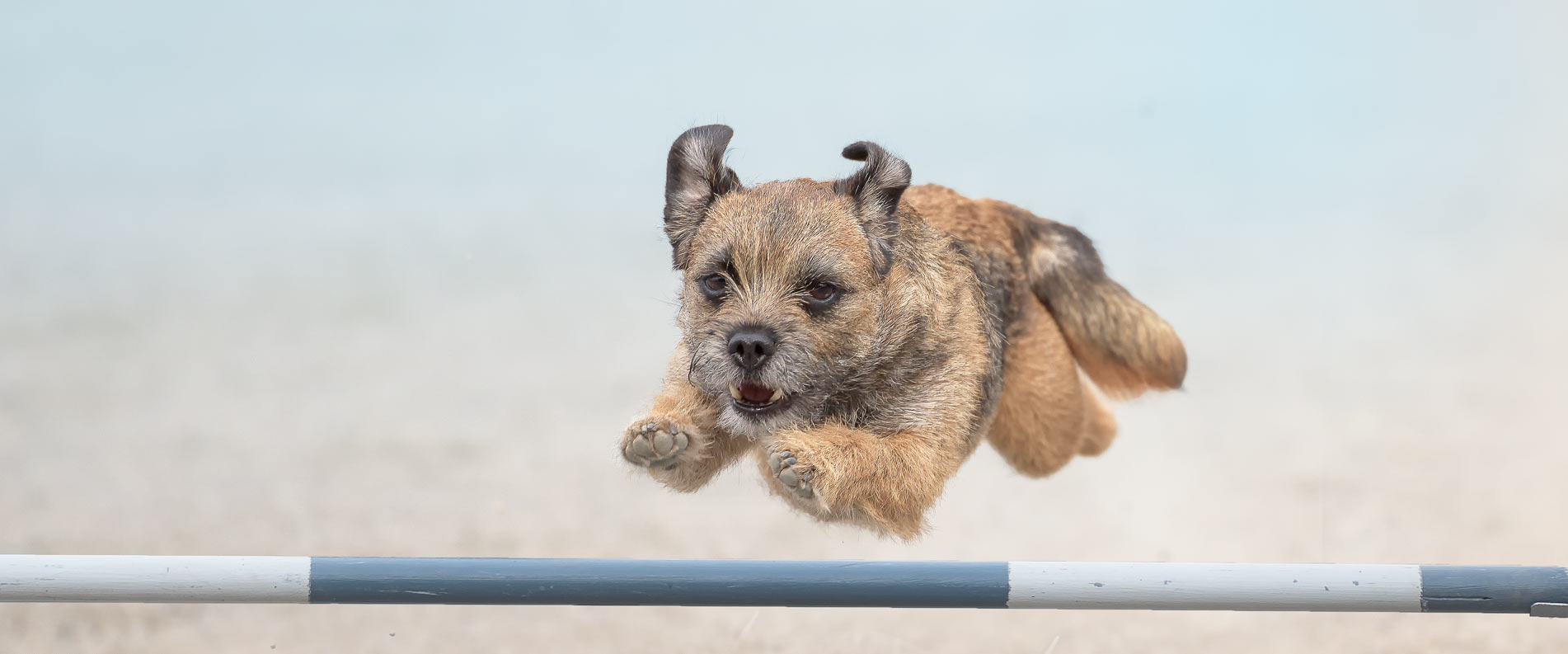 dog jumping an agility jump