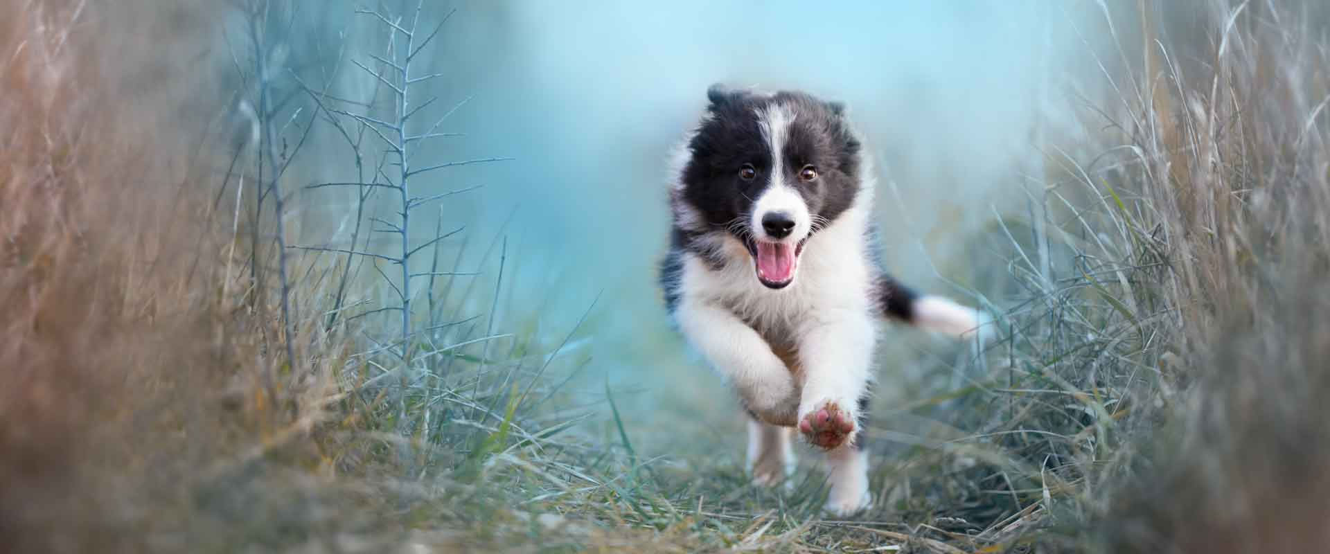 border collie puppy doing a recall