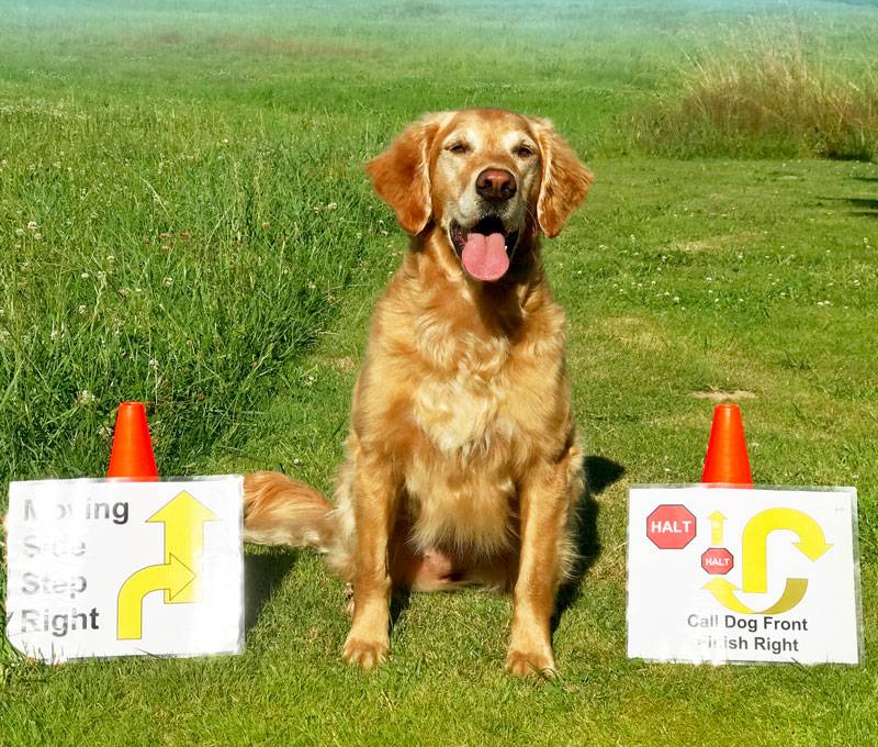 Golden Retriever sitting next to rally signs