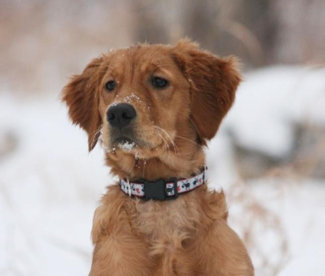 Sparks has been bred to Hoot – Puppies due Jan. 2019 (Calgary)