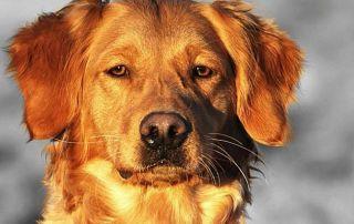 Golden Retriever - Charlie