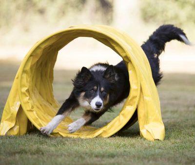 dog having fun doing canine agility