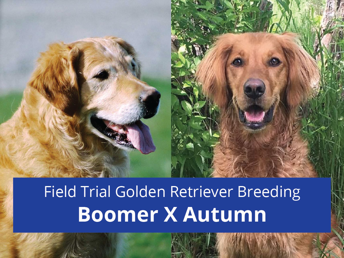 Golden Retriever Breeding - Boomer X Autumn - Field Trial Champion Lines