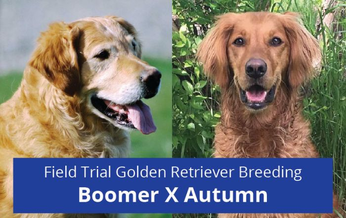 Golden Retriever Breeding: Boomer X Autumn Field Trial Champion Lines