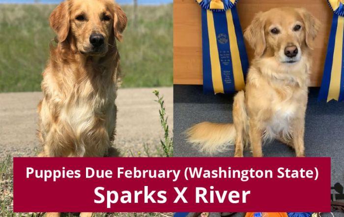 Golden Retriever Puppies Due Feb 2020