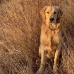Golden Retriever: Seven in long grass