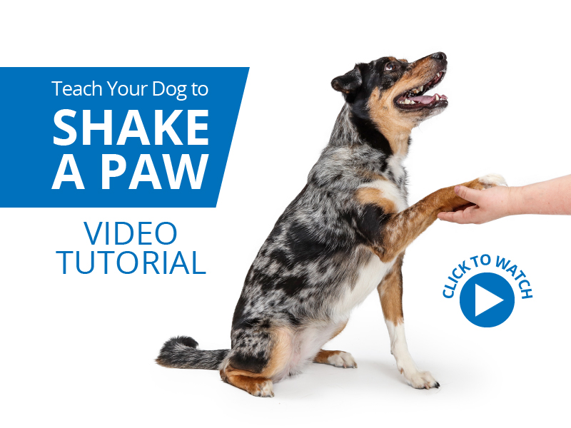 Teach Your Dog to Shake a Paw