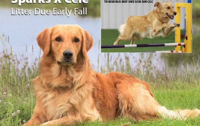Golden Retriever Litter Due Fall 2020 - Sparks X Cele