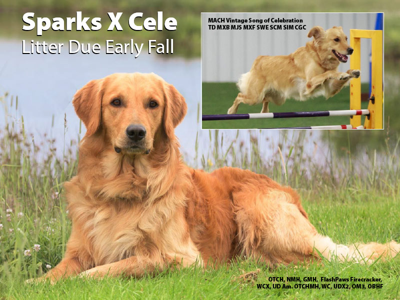 Golden Retriever Litter Due Fall 2020 - Sparks X Cele