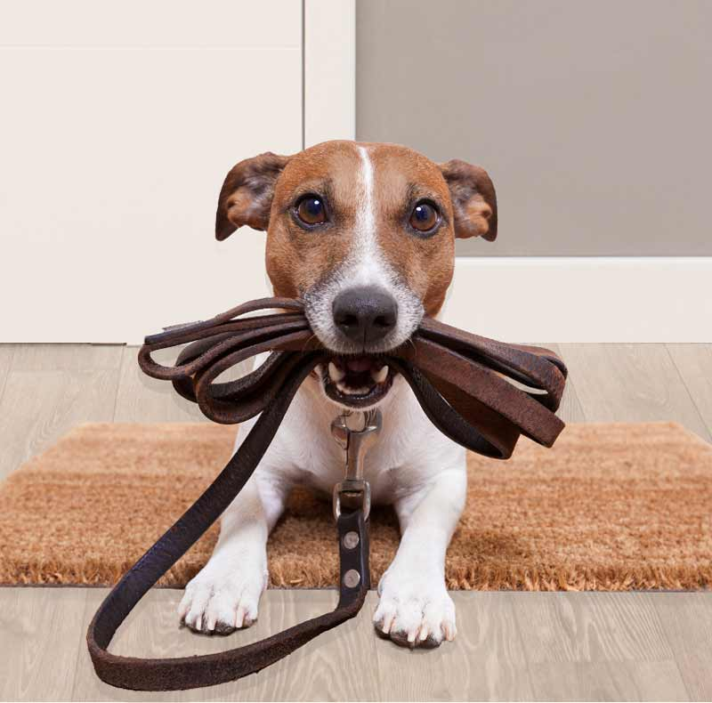 advanced dog training | Jack russel holding leash