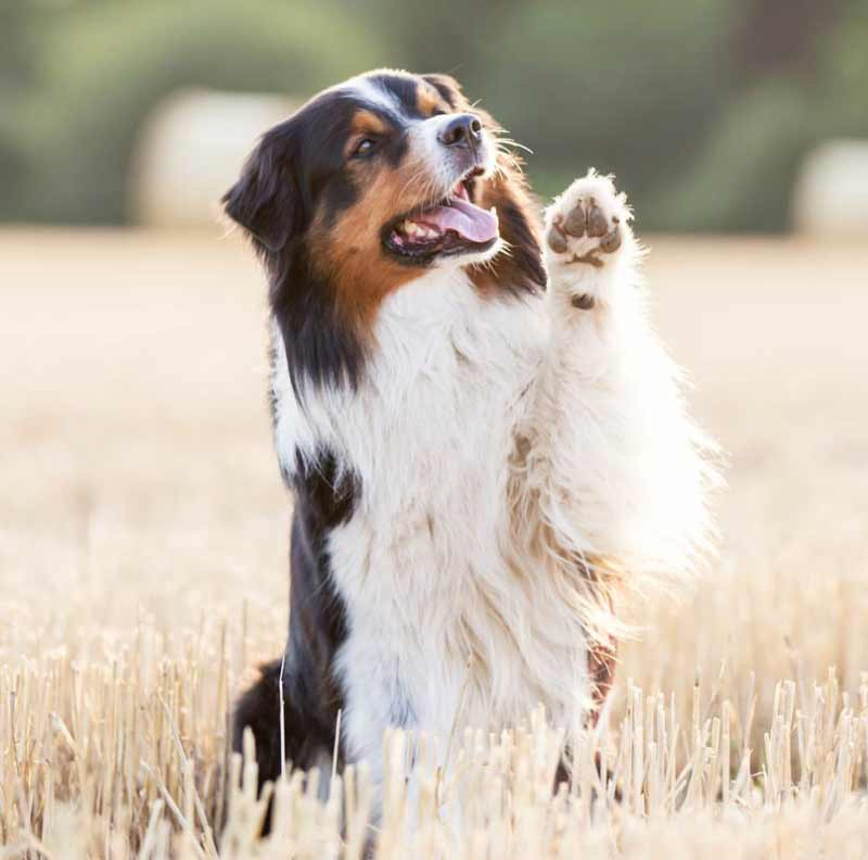 trick training for dogs | aussie shepherd shows off a wave