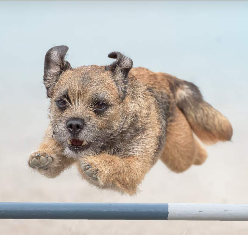 beginner agility | small terrier going over jump