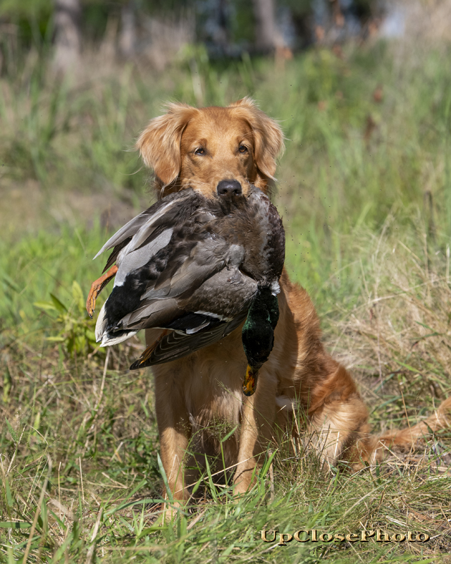 Jojo Golden Retriever with Duck